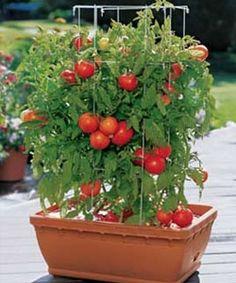 Horta em casa - como plantar tomate no vaso
