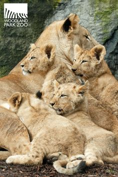 Lion cubs with Mom at Woodland Park Zoo in Seattle. These cubs were born in 2013.