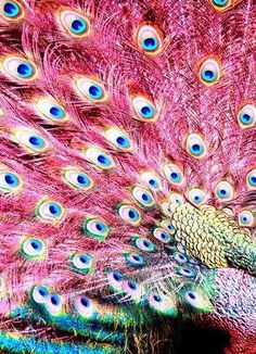 I dunno if it's real, but it's perty. Fancy pink peacock.