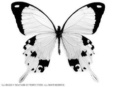 güzel kelebek resimleri - Google'da Ara