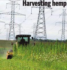 hemp - harvesting- industrial hemp
