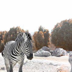 Going on safari Best Digital Camera, Naturally Beautiful, Lol, Zebras, Digital Photography, The Great Outdoors, Savannah Chat, Giraffe, Safari