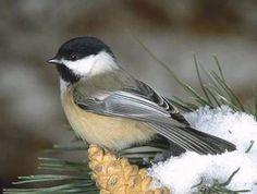 """birds in minnesota   Sound: """"chick-a-dee-dee-dee-dee-dee-dee, FEE---bee-bee"""""""