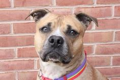 Petango.com – Meet Alfalfa, a Terrier, American Staffordshire / Mix available for adoption in Hagerstown, MD