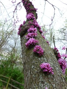 I love how our redbud tree flowers on the trunk!