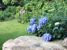 Hydrangeas from my garden!