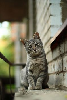 It's common to talk about tabbies as if they represent a cat breed. In fact, the word tabby denotes a coat pattern. Excellent What It Means to Be a Tabby Cat Ideas. Cute Cats And Kittens, Cool Cats, Kittens Cutest, Tabby Kittens, Funny Kittens, Grey Tabby Cats, Bengal Cats, Pretty Cats, Beautiful Cats