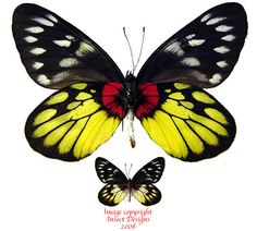 Insect Designs :: Butterflies and Moths :: Pieridae :: Delias ...