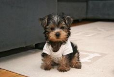 teddy bear dogs - this is what I want!
