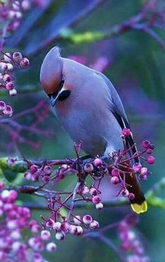like the colors of this; but Cedar Waxwings are not usually purple, I think...hmm..filter?