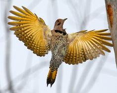 Coming In For A Landing - Northern Flicker bird. from Mike & Doris
