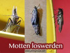 Obstfliegen Bekämpfen fruchtfliegen obstfliegen bekämpfen und loswerden obstfliegen