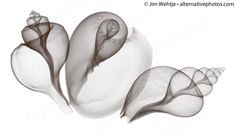 X-ray photos of seashells and starfish. by Jim Wehtje, via Behance