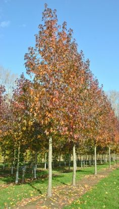 Liquidambar styraciflua 'Worplesdon' #tree #autumn #colours www.vdberk.co.uk