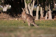 Kangaroo chew.