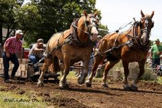 Draft horse pulling competition!