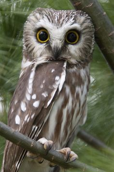 Northern Saw-Whet Owl, wild by Kim Kurtz.  Becky & I rescued one of these sweet owls in Jackson Hole once :)