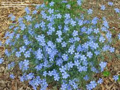 Full size picture of Blue Flax (<i>Linum perenne</i>)