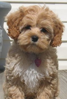 Such a cute cockapoo!!!