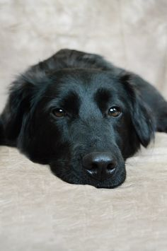 Charlotte - Australian Shepherd / Black Lab mix.
