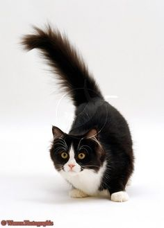 Black-and-white cats    Tails Up!