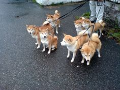 That's a lot of shibas you've got there, sir. #shibainu