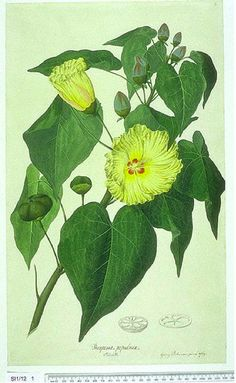 Portia Tree (Thespesia populnea) By Sydney Parkinson