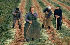 East German women harvesting sugar beets, September 1974