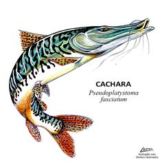 Conheça as principais peixes e espécies esportivas de rios, lagos e represas brasileiras. Temos a maior de diversidades de peixes da água doce do mundo.