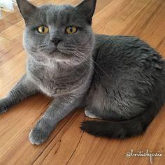 Had an enema yesterday. Now I am tiny  #caturday #britishshorthair #britishblue #igcatclub #igcatjunky #instacat #showcasing_pets #cat_features #pet_featuring #we_love_cats #bestmeow #cutecatcrew #excellent_cats #cutecat #cats_of_instagram #catsofinstagram #bestcats_oftheworld #catstagram #petstagram #catsfollowingcats #catoftheday #ilovemycat #neko #gato #katze #cat #meow #pretty #cute #adorable by @britishjosie cat enclosures  cat cats kitty cute catlover catsofinstagram catcam instacat…