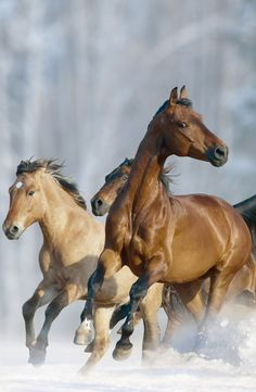 Big Horses, Cute Horses, Pretty Horses, Horse Love, Cute Little Animals, Cute Funny Animals, Majestic Animals, Animals Beautiful, Akhal Teke Horses