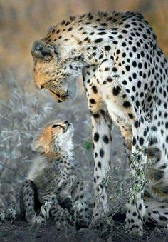 Top 10 Photos of Big Cats - Belezza,animales , salud animal y mas Animals And Pets, Funny Animals, Cute Animals, Wild Animals, Animals And Their Babies, Mother And Baby Animals, Animals Planet, Animal Babies, Strange Animals
