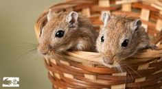 Amber and Acorn are two active gerbils who would love you to take them home.