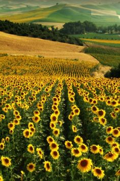 Sunflower fields, Andalucia, Spain. I love sunflowers this would be amazing to see in person!