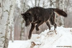 Majestic Black Timber Wolves Photographed Like You've Never Seen Before Beautiful Wolves, Animals Beautiful, Wolves Of Wall Street, Wolf Poses, Animals And Pets, Cute Animals, Wild Animals, Wolf Photography, Wildlife Photography