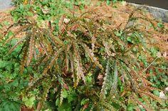 COMPTONIA peregrina - Sweet Fern (a native woody shrub, not a fern). Z2