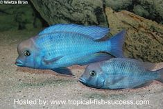 Malawi Dolphin cichlid   We named ours forehead many years ago when we had one