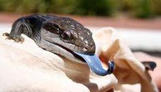 Australian Blue Tonged Lizard