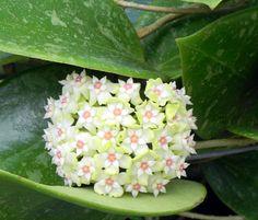 """Hoya parasitica """"Lao"""""""