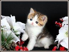 Shaded Golden & White Exotic Short Hair kitten