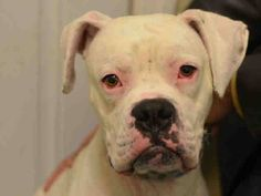 TO BE DESTROYED - 12/27/14 Brooklyn Center My name is CASPER. My Animal ID # is A1022638.I am a male white boxer. The shelter thinks I am about 2 YEARS. For more information on adopting from the NYC AC&C, or to find a rescue to assist, please read the following: http://urgentpetsondeathrow.org/must-read/