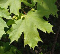 Acer platanoides / Erable plane / Sapindaceae   Ses feuilles se distinguent de celles des autres érables par leurs angles très découpés et pointus. Ses fruits (samares) sont groupés par deux, en ligne ou à angle très ouvert.