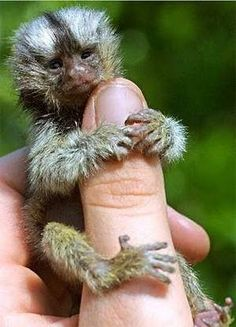 cannot believe there is a monkey this tiny!!!