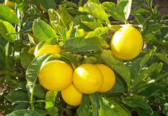 The Meyer Lemon Tree is a fun tree that always seems to be blooming or fruiting. Many Meyer Lemon Trees are blooming now, bringing beautiful flowers and a wonderfully fresh citrus scent to many homes. Fruit Garden, Garden Trees, Edible Garden, Veg Garden, Growing Lemon Trees, Fast Growing Trees, Growing Herbs, Citrus Trees, Peach Trees
