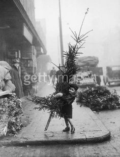 An early arrival at Spitalfields Market, London, puts a youthful shoulder to the task of carrying a Christmas tree home, 14th December 1946.