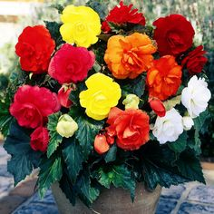 Растения самого разного вида - травянистые с крупными красными, белыми, розовыми или оранжевыми цветами или пышные кусты с мелкими цветочками и большими несимметричными листовыми пластинами разнообразных раскрасок и формы - это все бегонии. Бегоний насчитывается около 1000 видов и более 2000 их гибридных форм.