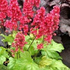 Heuchera 'Havana' (PP is a small coral bell with light yellow-lime foliage and reblooming pink flowers. It prefers more shade than most Heuchera and grows high by wide with flowers on short stems. Coral Bells Plant, Coral Bells Heuchera, Hydrangea Paniculata, Buy Plants, Shade Plants, Flowers That Attract Hummingbirds, Online Plant Nursery, Planting Shrubs, Shade Perennials