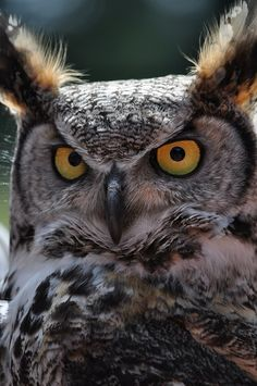 cloudyowl: Great Horned Owl by LizaPed