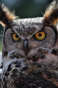 Great Horned Owl by LizaPed