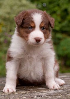 Border collie pups red/chocolate tri | Lochgelly, Fife | Pets4Homes